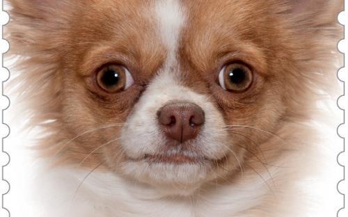 27 januari: Honden naderbij (Chihuahua)