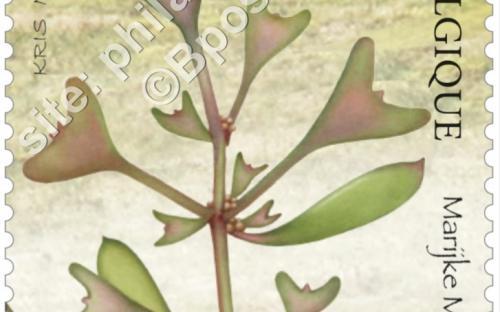 13 juni: Het nieuwe Zwin, Gesteelde zoutmelde (Atriplex Pedunculata)